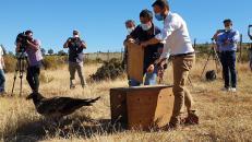 El Gobierno de Castilla-La Mancha trabaja para reintroducir al quebrantahuesos en los parques naturales del Alto Tajo y la Serranía de Cuenca y elaborar un plan de recuperación de la especie