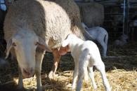 El Gobierno de Castilla-La Mancha publica hoy la resolución favorable para la inclusión del lechal en la IGP Cordero Manchego