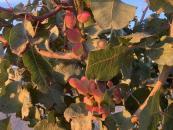 Castilla-La Mancha representa ya el 81 por ciento de la superficie de pistacho en toda España con cerca de 38.000 hectáreas alcanzadas en 2020