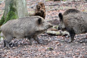 El Gobierno regional autoriza la entrada y salida de Castilla-La Mancha a cazadores que se dirijan a cotos con riesgo de sobreabundancia de determinadas especies cinegéticas