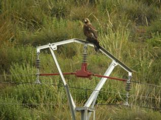 Águila Imperial sobre tendido eléctrico