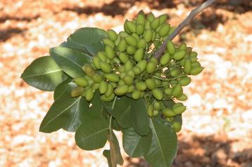 El Gobierno regional dona 1.600 kilos de pistachos de su centro experimental para un estudio con embarazadas que concluye las bondades del alimento