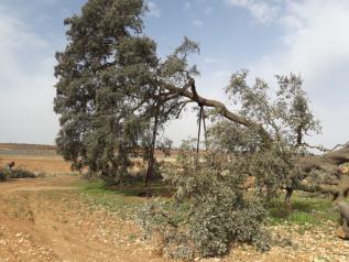 El Gobierno de Castilla-La Mancha ha iniciado el expediente para declarar la 'Carrasca Ruli' como árbol singular, el primero en la región desde 2011