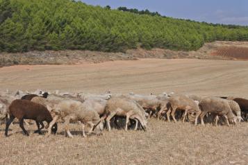 El Gobierno de Castilla-La Mancha valora la importancia de la investigación que se realiza en el Cersyra sobre la oveja manchega