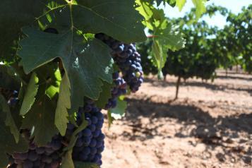 Castilla-La Mancha amplía un mes y medio, del 15 de junio al 31 de julio, el plazo de solicitudes de certificación de la reestructuración del viñedo