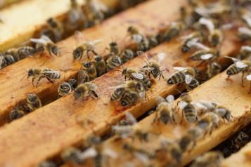 El Gobierno de Castilla-La Mancha abona hoy 1,6 millones de euros de ayudas a cerca de 300 apicultores para la mejora de la biodiversidad