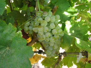 Castilla-La Mancha recupera, gracias a los trabajos de investigación, ocho variedades de vid autóctona en los últimos cinco años