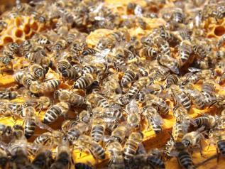 Castilla-La Mancha publica la nueva convocatoria de ayudas para la campaña apícola 2021 con un presupuesto de 800.000 euros