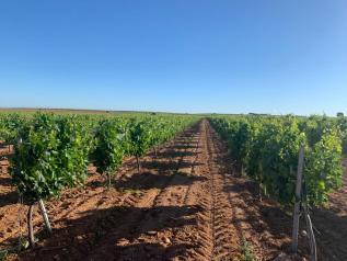 Nuevas ayudas de la PAC y reestructuración del viñedo