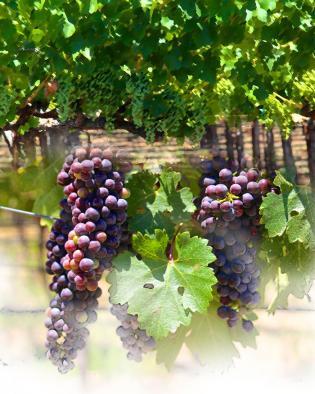 Programa INNOVA en el sector vitivinícola
