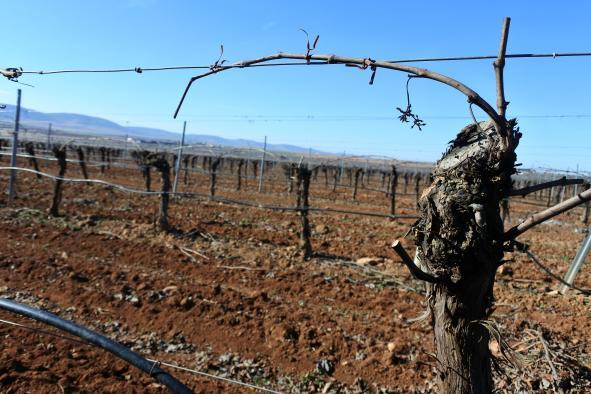 Castilla-La Mancha obtiene más de la mitad de la superficie asignada a nivel nacional de nuevas plantaciones de viñedo para esta campaña