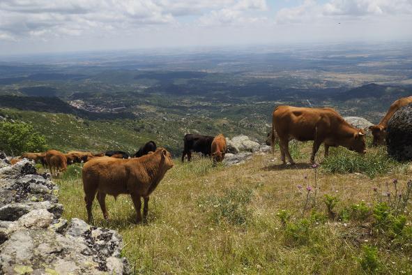 Castilla-La Mancha publica mañana la convocatoria de nuevas ayudas para paliar los posibles daños causados por el lobo ibérico en el ganado