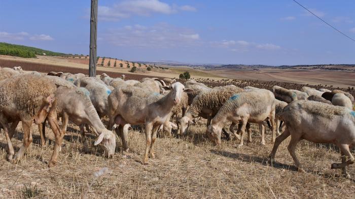 Castilla-La Mancha supera los 600 millones de euros de ayudas abonadas de la PAC, con la inyección hoy de más 5 millones para vacuno de cebo