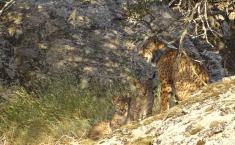 El Gobierno de Castilla-La Mancha notifica 29 camadas y el nacimiento de 90 cachorros de lince ibérico una vez finalizada la temporada de cría de este año 2020
